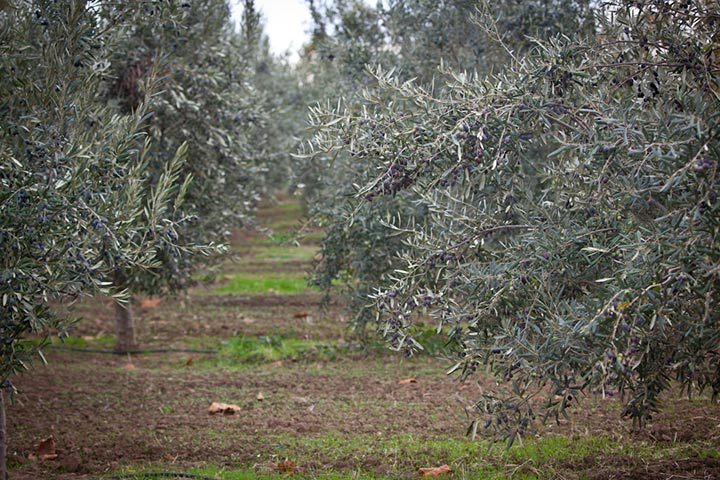 The Harvest - KATZ Olive Groves - by Elisabeth Fall