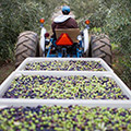 The Harvest - Bringing The Olives In - by Jeffery G. Katz