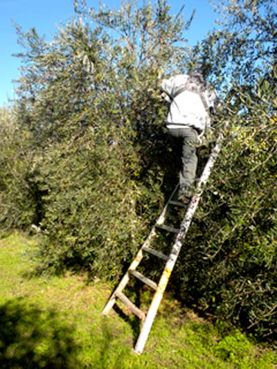 KATZ Harvest -  Early Morning Olive Picking