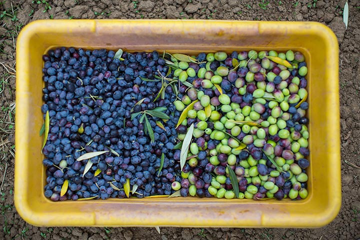 The Harvest - KATZ Olives - by Jeffery G. Katz