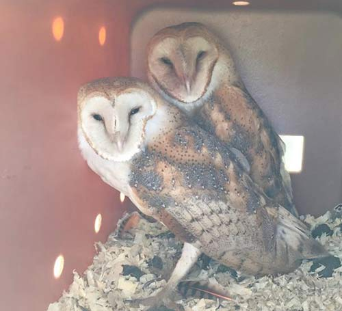 A Pair of Barn Owls at KATZ Farm in Our Owl Box