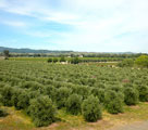 KATZ Rock Hill Ranch - The Olive Groves