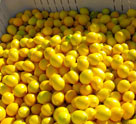 KATZ Meyer Lemons Ready For The Mill