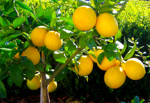 KATZ Meyer Lemons Waiting To Be Harvested