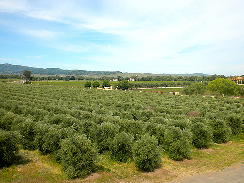 KATZ Rock Hill Ranch Olive Groves