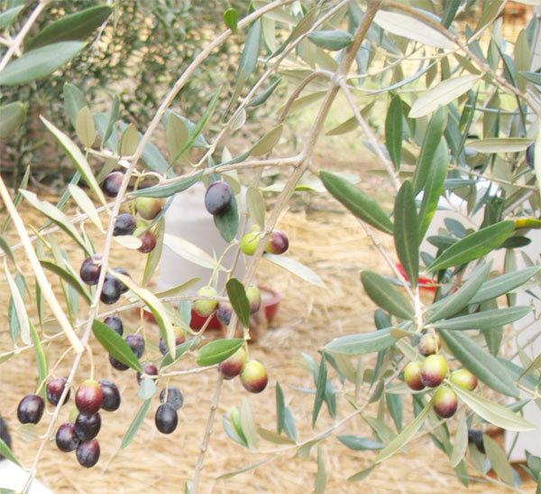 KATZ Rock Hill Ranch Olives Are Just About Ready